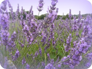 Mayfield Lavender 2011